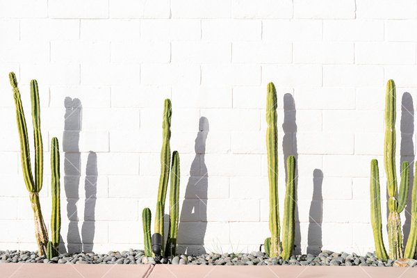 cactus with white brick wall